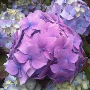 Hoe en wanneer snoei je een Hortensia
