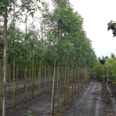 Op zoek naar bomen om te kopen? Royal Hedge heeft altijd voorraad.