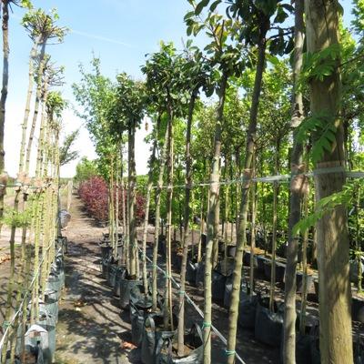 Prunus l. 'Mano' bomen