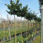 Bomen te koop bij degrootste bomen webshop van Nederland.