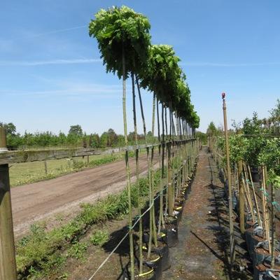 Quercus rubra Haaren Bomen schaf je aan bij Royal Hedge