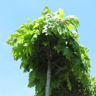 Quercus rubra Haaren