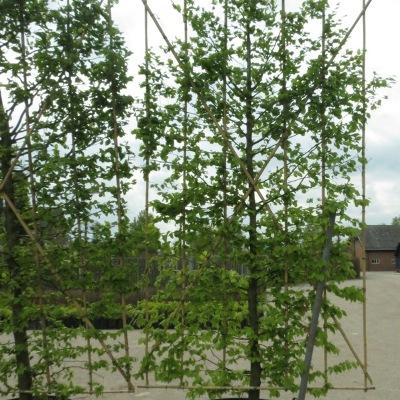 Carpinus betulus lage lei boom container
