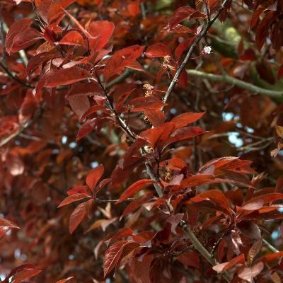 Prunus cer nigra