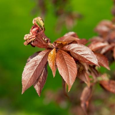 Prunus ceracifera
