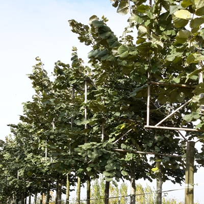 Tilia tomentosa 'Brabant' hoge lei boom