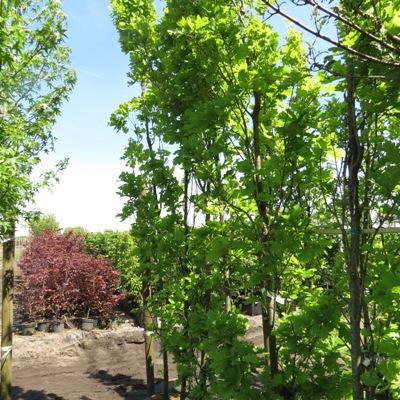 Quercus robur 'Fastigiata Koster'