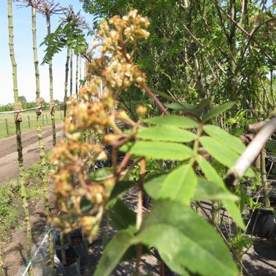 Sorbus aucuparia blad