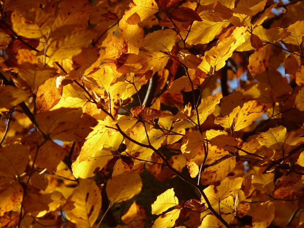 Fagus sylvatica bomen herfst