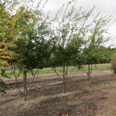 Quercus Nigra bomen