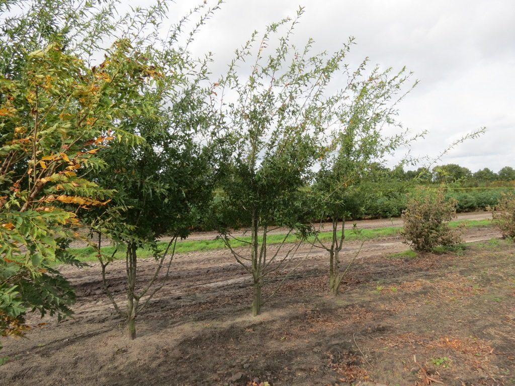 Quercus Nigra bomen kopen
