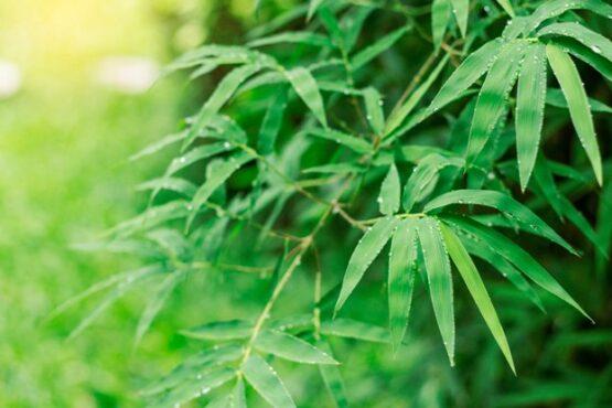 Fargesia rufa bamboe