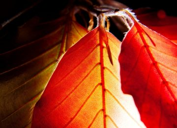 Leaves of Red European Beech