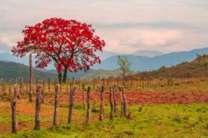 Rood kleurige boom met rood blad